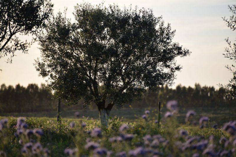 16-Olivenbaum-und-Bluete-scaled