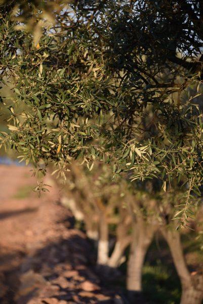 16-Olivenbaum-und-Steinalleee-scaled
